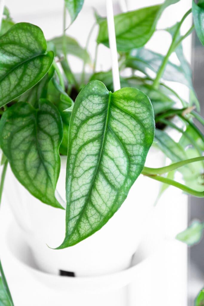 gorgeous silver leaf monstera