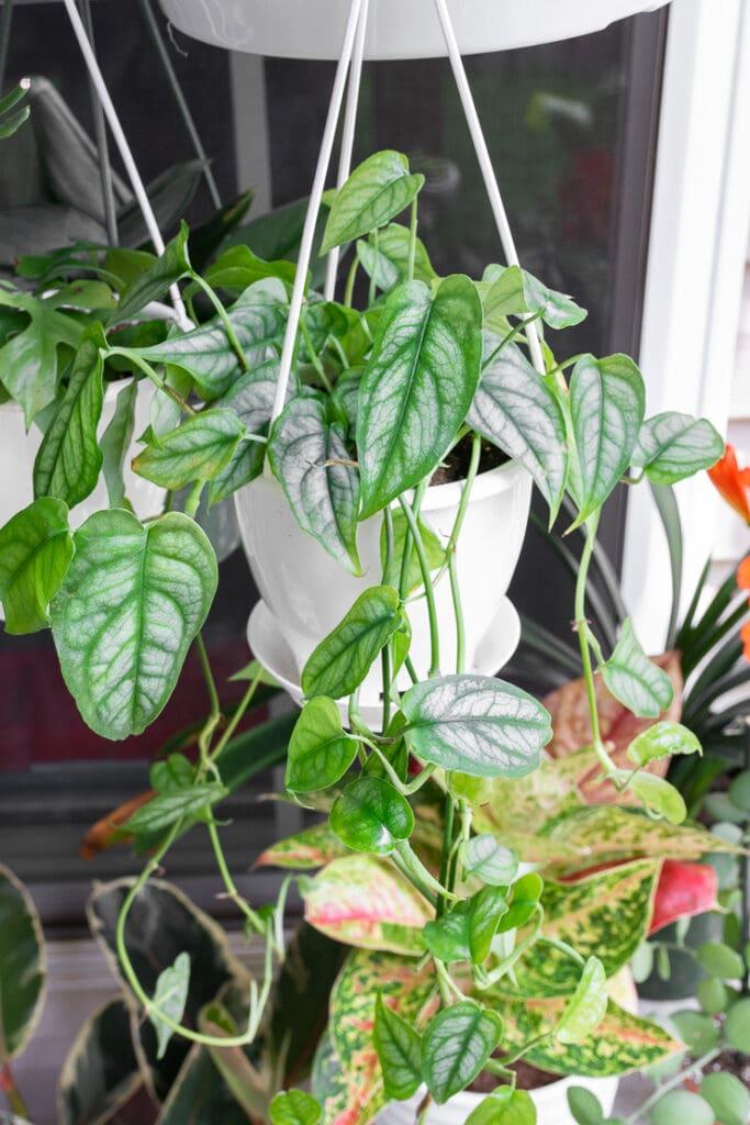 hanging monstera siltepecana plant