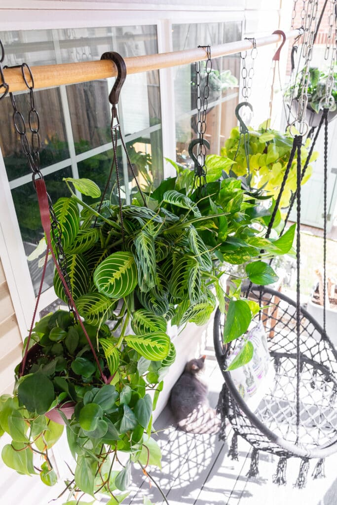 lemon lime prayer plant hanging with other plants outdoors