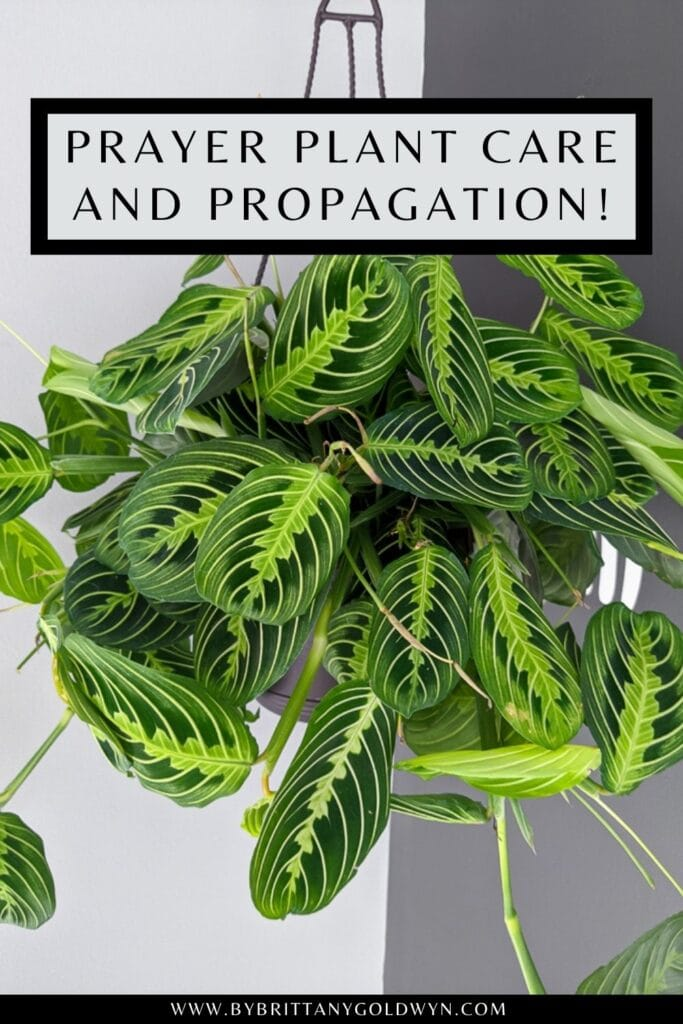 pinnable graphic about prayer plant care and propagation including text overlay