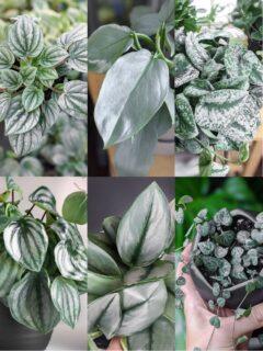 gorgeous silver houseplants