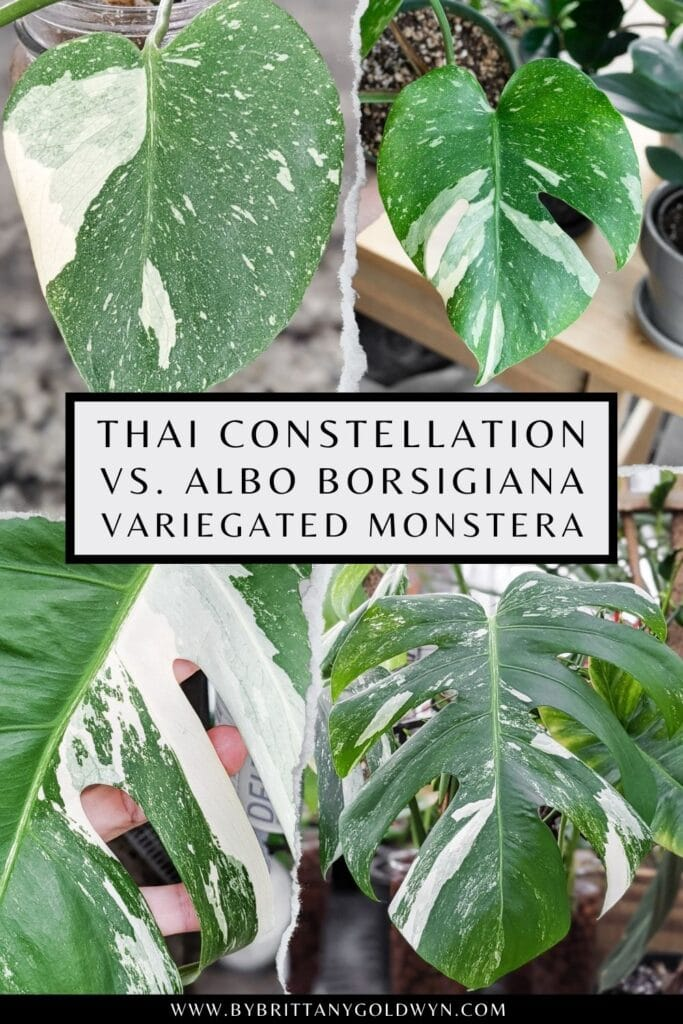 pinnable graphic about thai constellation vs. albo borsigiana monstera care and propagation include images of the plant and text overlay