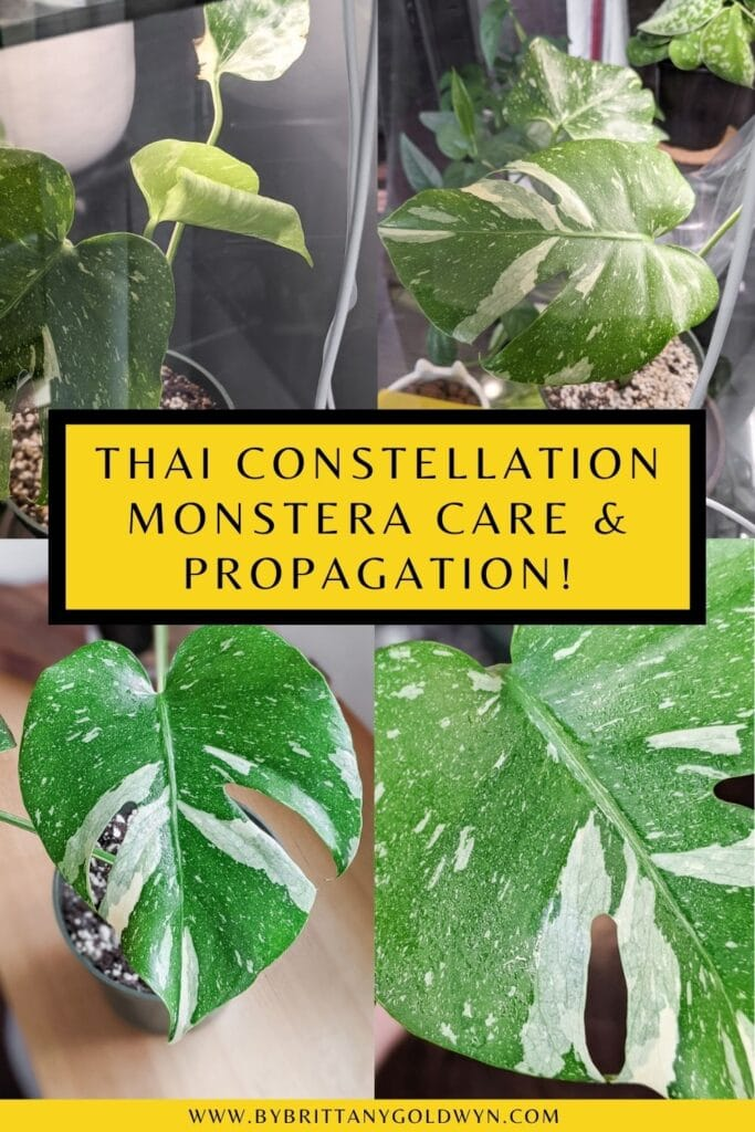 pinnable graphic about thai constellation monstera care and propagation include images of the plant and text overlay