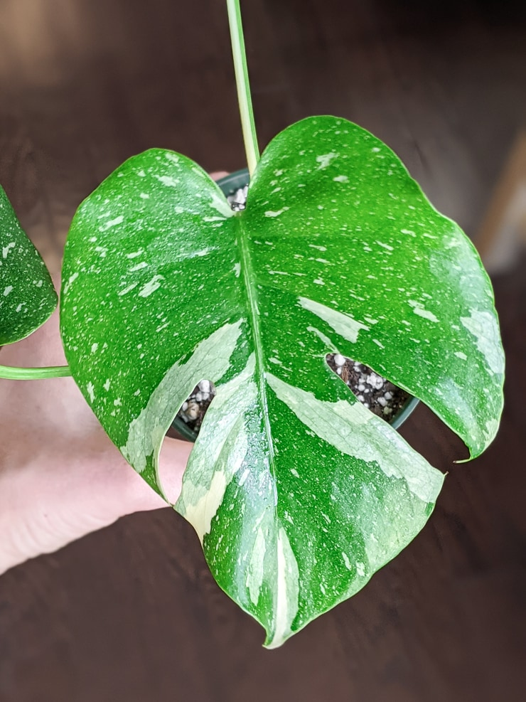 thai constellation monstera leaf