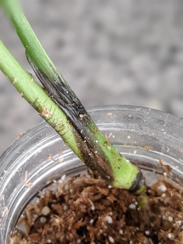 beginnings of stem rot on a thai constellation cutting