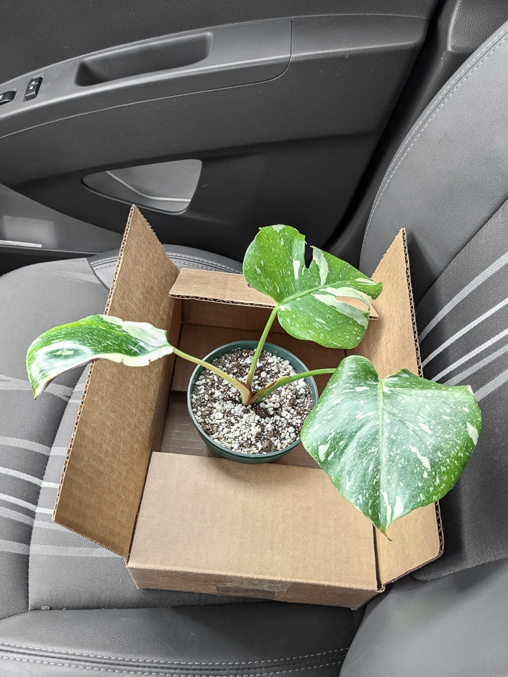 thai constellation monstera coming home in a box
