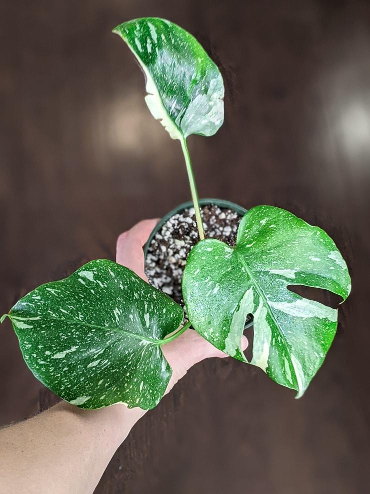 thai constellation monstera plant