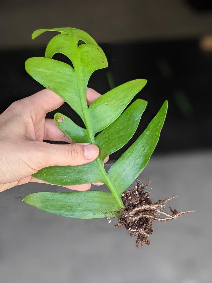 propagating a fern leaf cactus