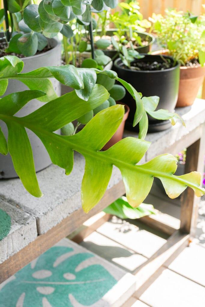 fern leaf cactus leaves