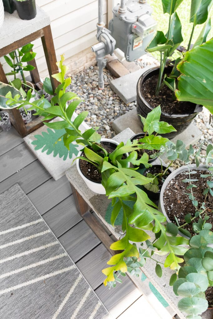 selenicereus chrysocardium on a patio with other plants