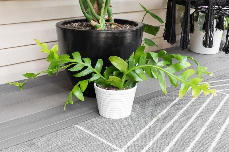 fern leaf cactus