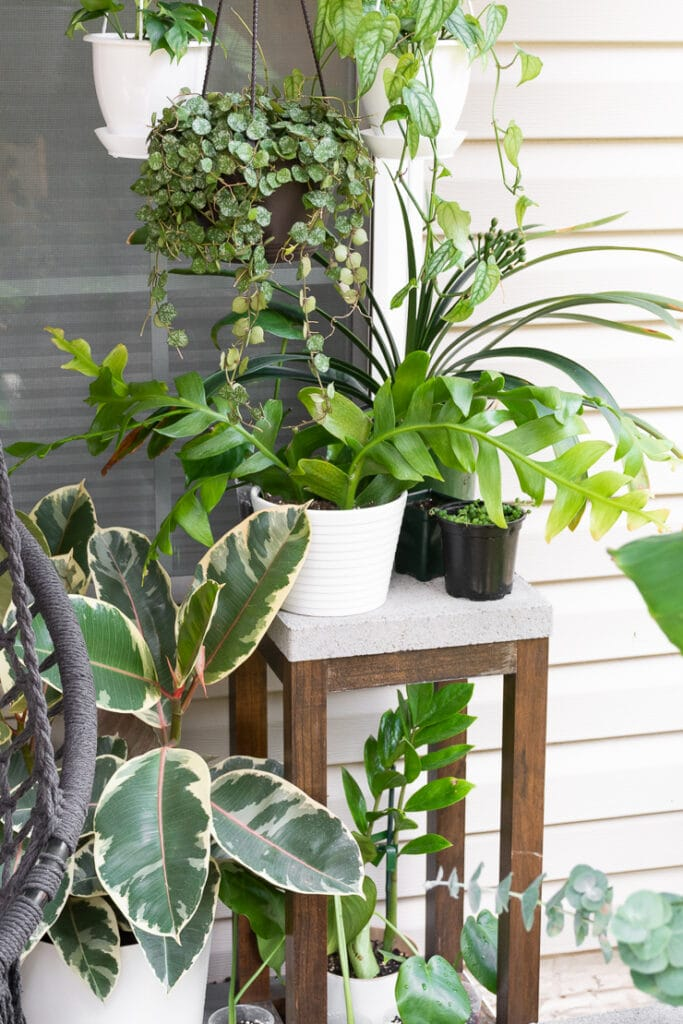 fern leaf orchid cactus on a patio with other plants