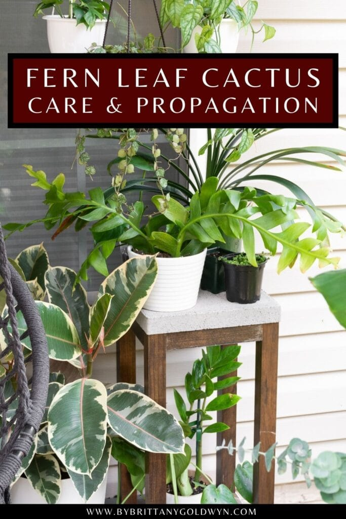 pinnable graphic about fern leaf cactus care and propagation including an image and text overlay
