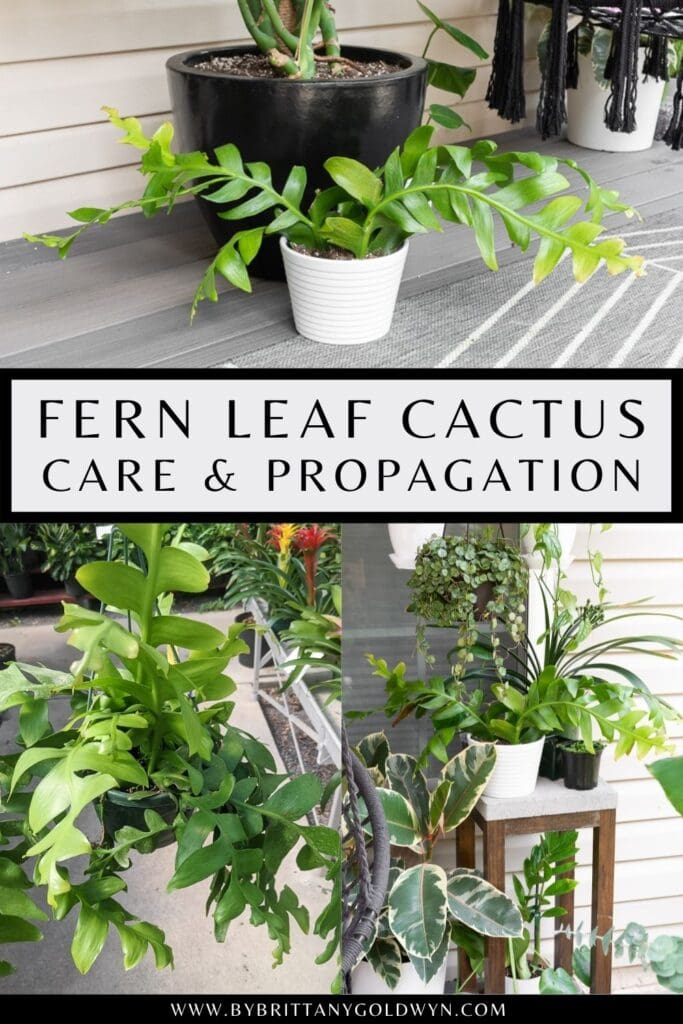 pinnable graphic about fern leaf cactus care and propagation including images and text overlay