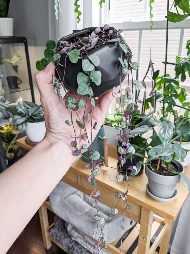 trailing string of hearts plant