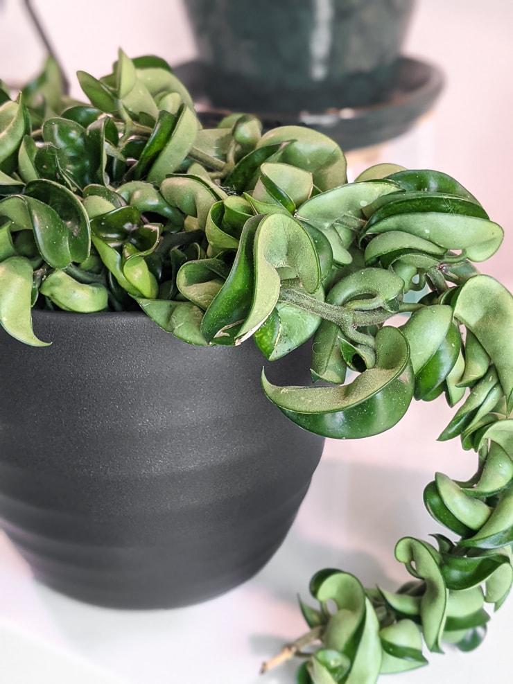 hoya rope plant