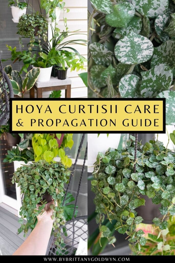 pinnable graphic about hoya curtisii care and propagation including photos and text overlay