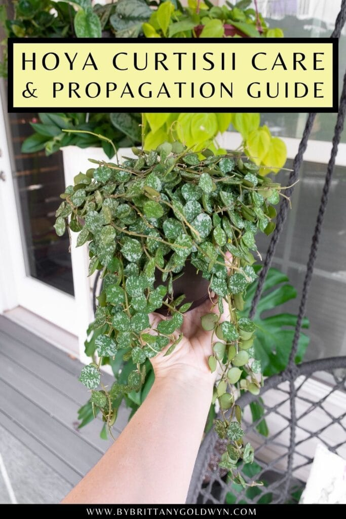 pinnable graphic about hoya curtisii care and propagation including a photo and text overlay