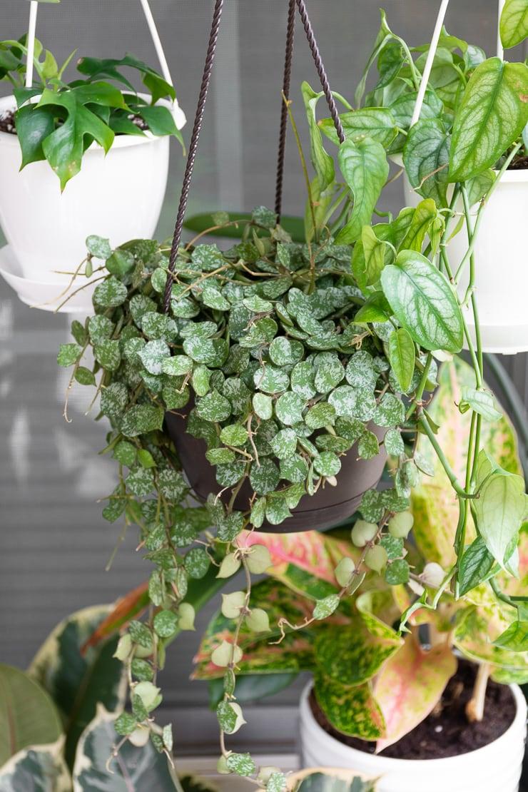 hoya curtisii plant