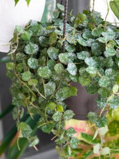 beautiful hanging basket of hoya curtisii