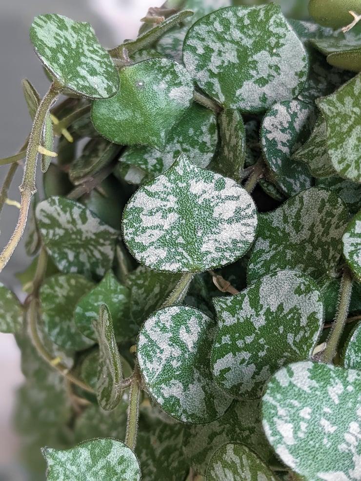 hoya curtisii leaves