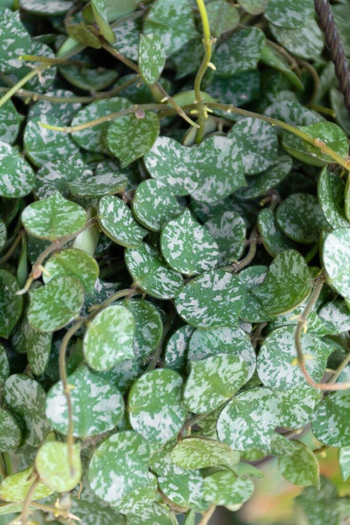closeup shot of hoya curtisii leaves