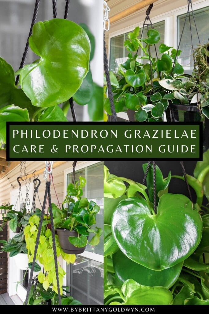 pinnable graphic about philodendron grazielae care and propagation including images and text overlay
