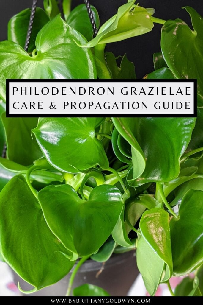 pinnable graphic about philodendron grazielae care and propagation including an image and text overlay