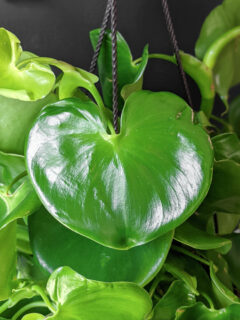 philodendron grazielae leaf