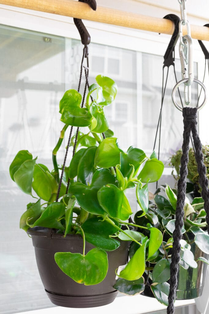 hanging philodendron grazielae plant