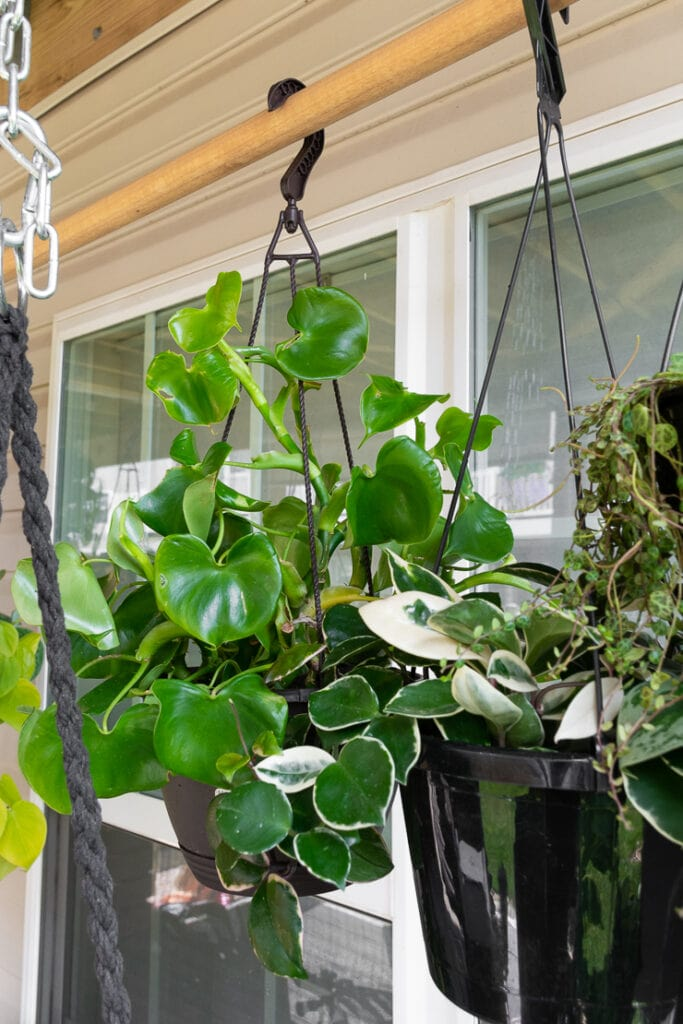 hanging philodendron grazielae plant hanging on a rod with other plants