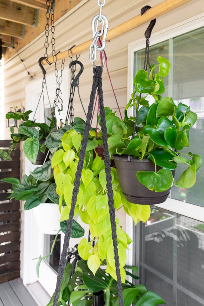 hanging philodendron grazielae plant outside with other plants