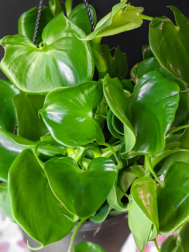 philodendron grazielae leaves