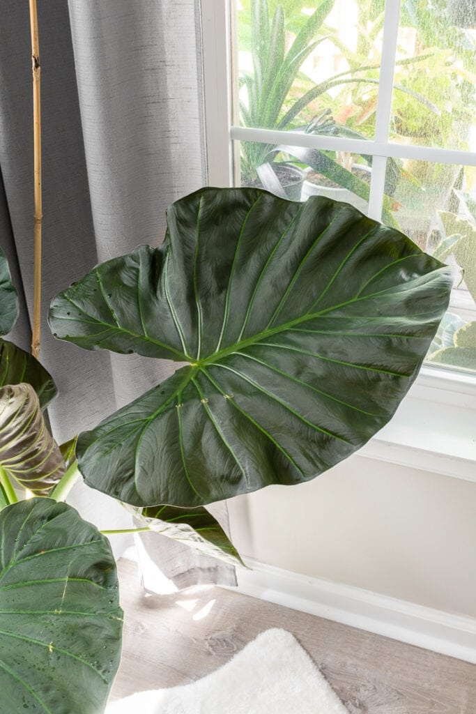 Alocasia regal shield plant