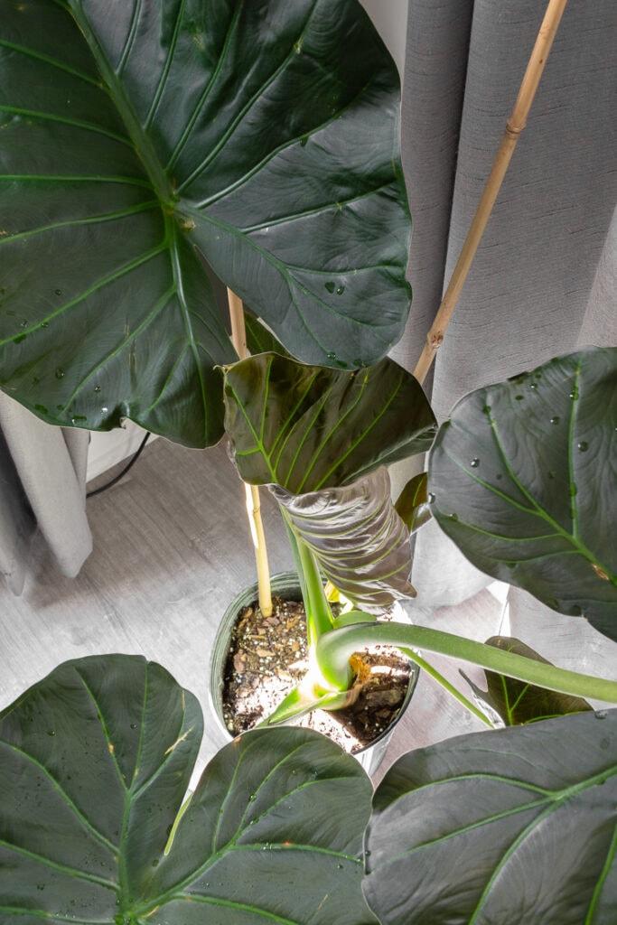 new leaf unfurling on an elephant ear plant
