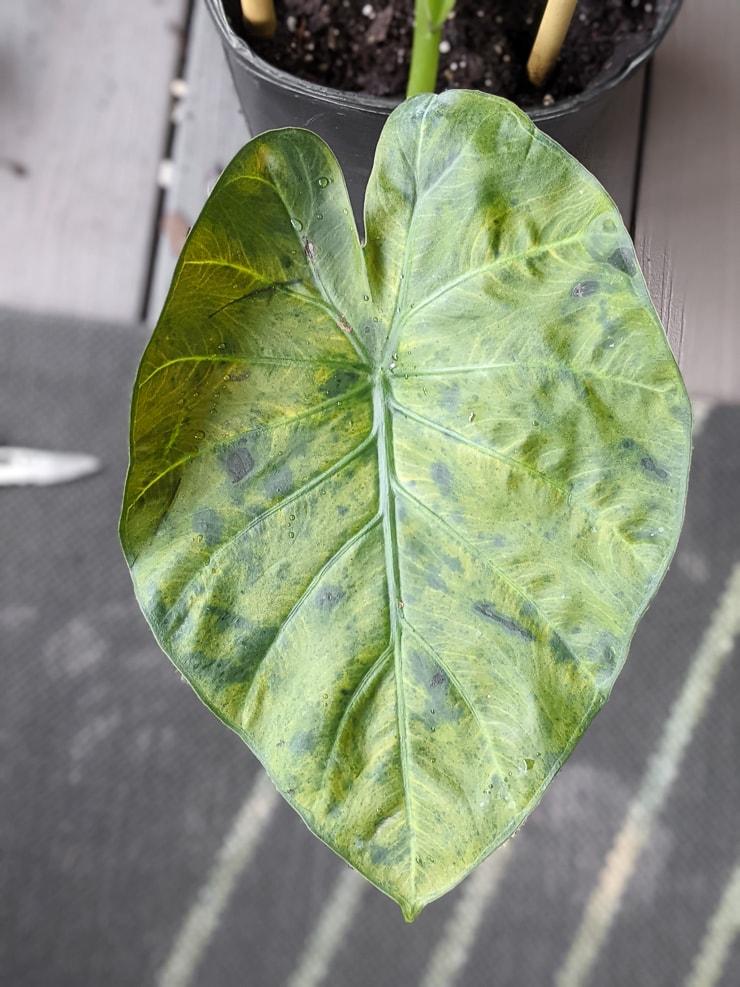 yellowing leaf on an Alocasia regal shield