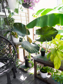 alocasia regal shield plant on a patio with plants