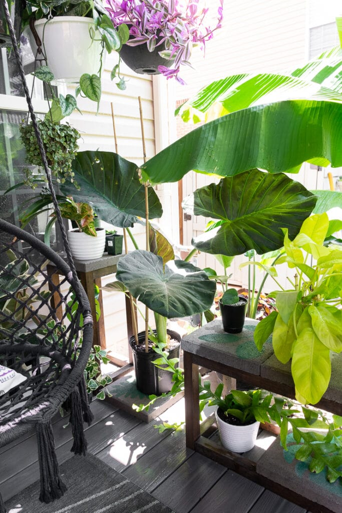 beautiful elephant ear regal shield on a patio with other plants