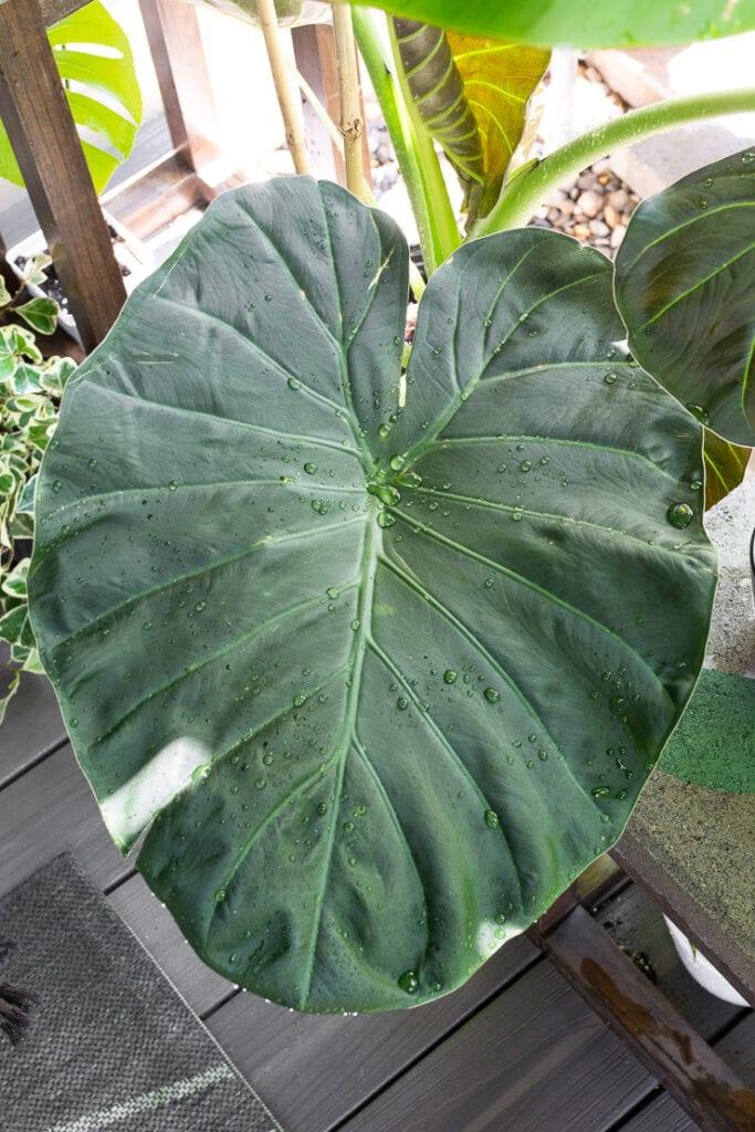 beautiful Alocasia regal shield leaf