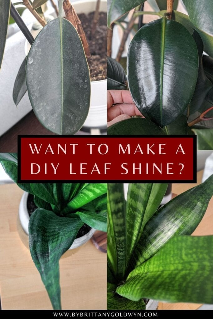 pinnable graphic with images of plants and text overlay about how to make a DIY leaf shine