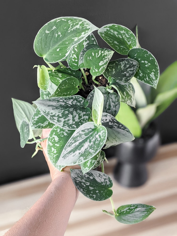 Scindapsus pictus silvery anne plant