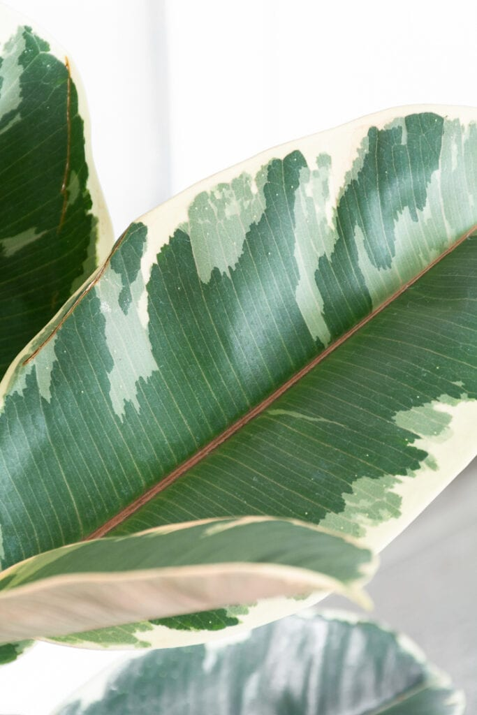 beautiful variegated rubber plant leaf