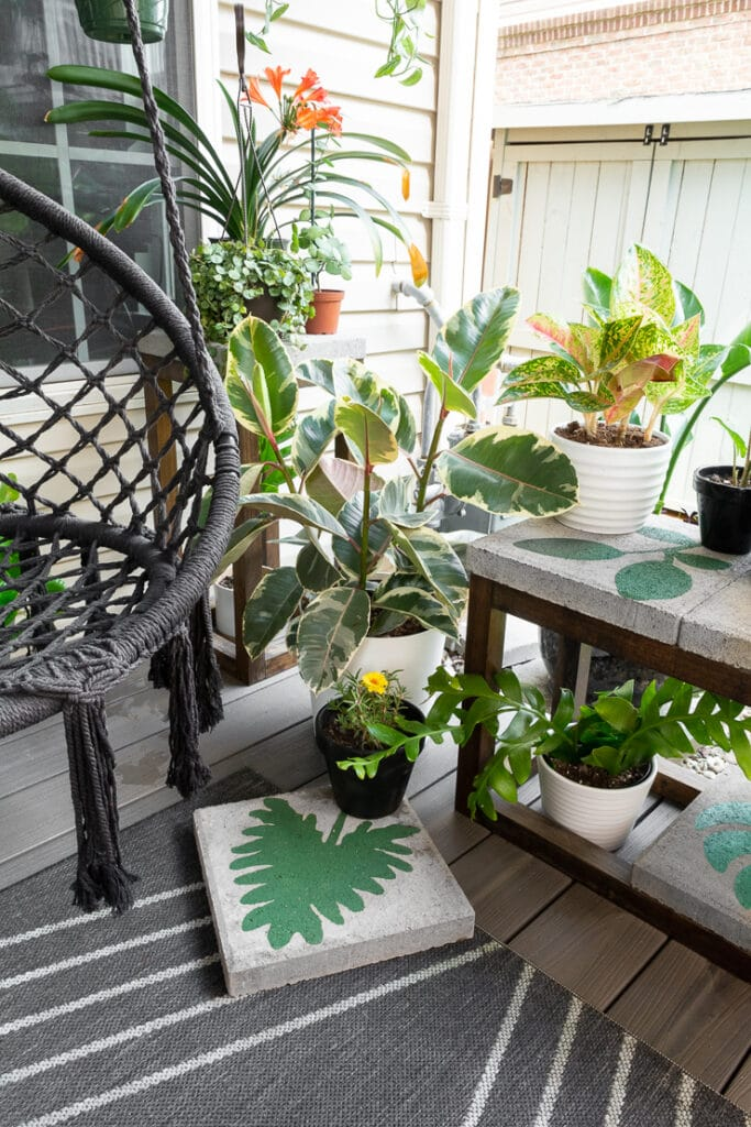 beautiful variegated rubber plant on a patio with a swing and other plants