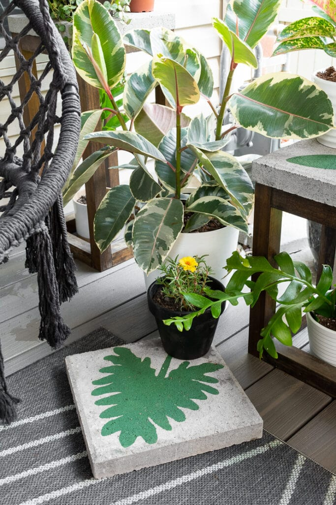 beautiful variegated rubber plant on a patio with other plants