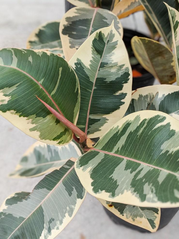 beautiful variegated rubber plant foliage