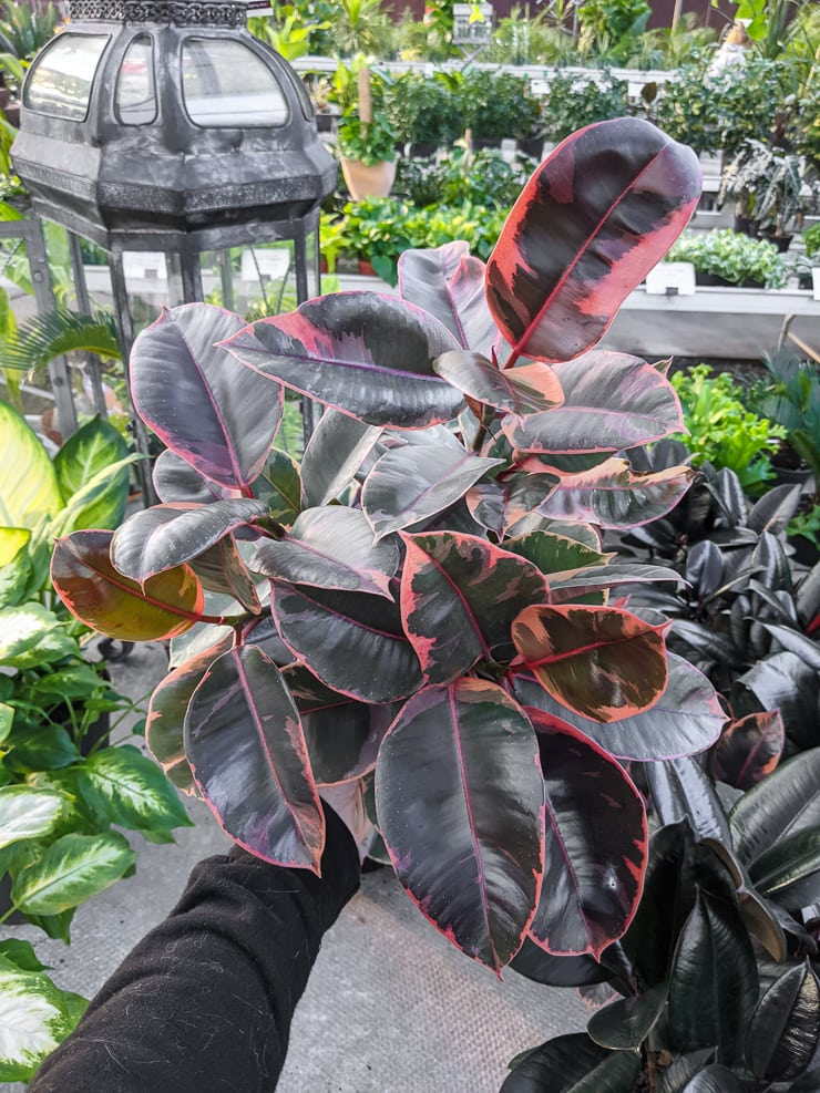 stunning ruby variegated rubber plant foliage