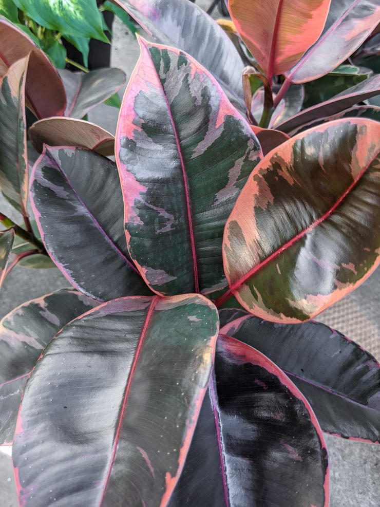 beautiful ruby variegated rubber plant foliage