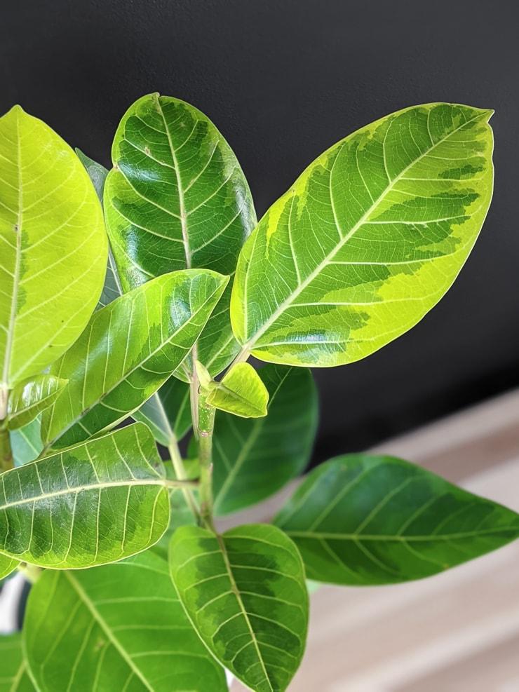 ficus altissima yellow gem leaves