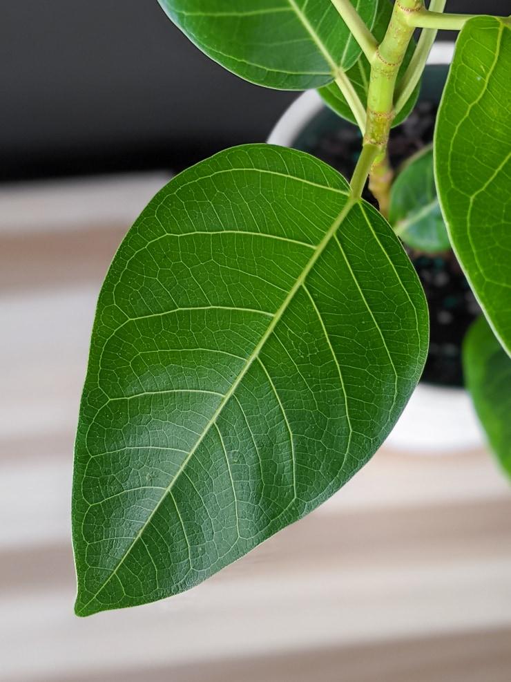 Immature Ficus Altissima leaf prior to developing variegation