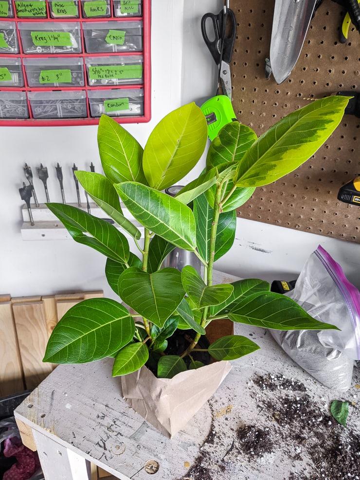 beautiful ficus altissima plant on a table
